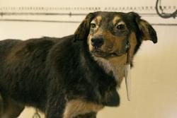 Собака Ивана Павлова